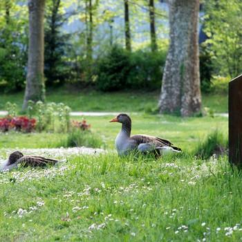 Domaine de Vizille - Oies sauvages